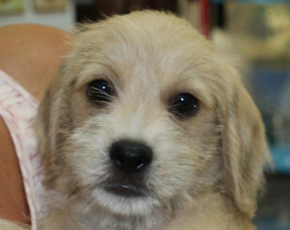 Puffer (pending adoption)